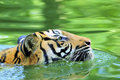Tiger of Sumatra swimming in the jungle Royalty Free Stock Photo