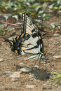 The tiger swallow-tail butterfly. Royalty Free Stock Images