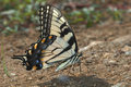 Tiger swallow-tail butterfly  (Papilio glaucas) Stock Photography