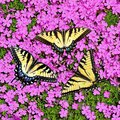 Tiger Swallowtail Butterflies at Creeping Phlox Royalty Free Stock Photo