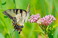 Tiger swallowtail butterfly feeding on some flowers Royalty Free Stock Photos