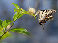 Tiger swallowtail eastern butterfly papilio glaucus on buttonbush Royalty Free Stock Photo