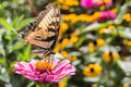 Tiger Swallowtail on Pink Flower Royalty Free Stock Photo