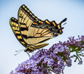Tiger swalowtail butterfly nectaring on lilacs a perfectly formed swallowtail is some against a blue sky Stock Photo