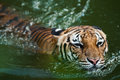 Tiger swimming in pond Stock Photos