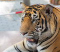Tiger in tropical park of nong nooch in pattaya thailand on the chain Stock Photo