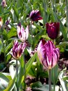 Tiger tulips beautiful purple and white Royalty Free Stock Image