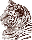 Tiger vector drawing of a tigers head Stock Photo