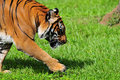 A Tiger Walking Royalty Free Stock Photography