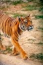 stock image of  Tiger walking around