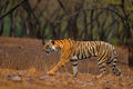 Tiger walking on the gravel road. Indian tiger female with first rain, wild animal in the nature habitat, Ranthambore, India. Big Royalty Free Stock Photo