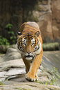 Tiger walking towards camera Royalty Free Stock Photo