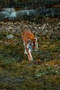 stock image of  Tiger walks on the grass. Wild animal