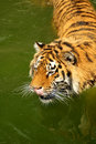 Tiger in water Stock Photos
