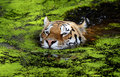 Tiger in water Royalty Free Stock Photo