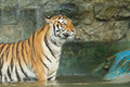 Tiger wild cat in the jungle Stock Photography