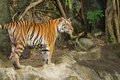 Tiger wild cat in the jungle Stock Image