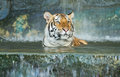 Tiger wild cat swimming in the jungle Royalty Free Stock Image