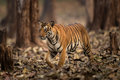 Tiger in wild of India