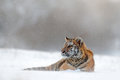 Tiger in wild winter nature. Amur tiger lying in the snow. Action wildlife scene, danger animal. Cold winter, tajga, Russia. Snow
