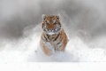 Tiger in wild winter nature.  Amur tiger running in the snow. Action wildlife scene with danger animal. Cold winter in tajga, Russ Royalty Free Stock Photo