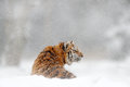 Tiger in wild winter nature. Amur tiger in the snow. Action wildlife scene, danger animal. Cold winter, tajga, Russia. Snowflake w Royalty Free Stock Photo