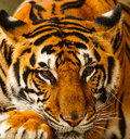 Tiger wildlife threatened species in thailand Royalty Free Stock Photography