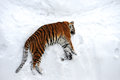 Tiger winter Royalty Free Stock Image