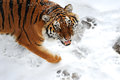 Tiger winter Royalty Free Stock Photo