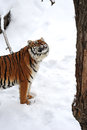 Tiger winter Royalty Free Stock Photos