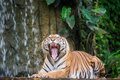 Tiger x s face with bare teeth of bengal in deep jungle Royalty Free Stock Image