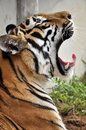 Tiger yawn a bengal yawns at training camp Royalty Free Stock Images