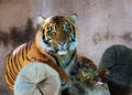 Tiger young asian resting in the shade Stock Photography