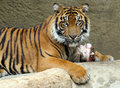 Tiger young sumatran sitting protecting bone Stock Image