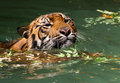 Tiger young sumatran swimming in green water Royalty Free Stock Images