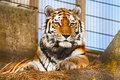 Tiger in a zoo Royalty Free Stock Photo