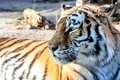 Tiger in zoo detail head Royalty Free Stock Photography
