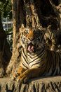 Tiger in zoo open mounth Stock Image