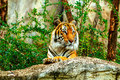 Tiger in zoo Royalty Free Stock Photo