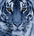 TigerBengal beautiful tiger head close-up Royalty Free Stock Photo