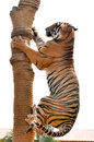 Tigers like children dogs can be taught to modify their behavior skilled application reward discipline Stock Photography