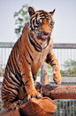 Tigers like children dogs can be taught to modify their behavior skilled application reward discipline Stock Images