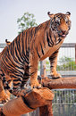Tigers like children dogs can be taught to modify their behavior skilled application reward discipline Royalty Free Stock Images