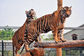 Tigers like children dogs can be taught to modify their behavior skilled application reward discipline Stock Photos