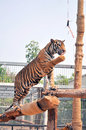 Tigers like children and dogs can be taught to modify their behavior through the skilled application of reward and discipline Royalty Free Stock Images