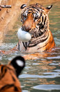 Tigers like children and dogs can be taught to modify their behavior through the skilled application of reward and discipline Royalty Free Stock Photo