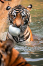 Tigers like children and dogs can be taught to modify their behavior through the skilled application of reward and discipline Royalty Free Stock Photos