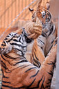 Tigers like children and dogs can be taught to modify their behavior through the skilled application of reward and discipline Stock Photo