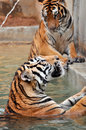 Tigers live alone aggressively scent mark large territories to keep their rivals away Stock Photos