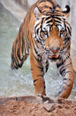 Tigers live alone aggressively scent mark large territories to keep their rivals away Stock Photography